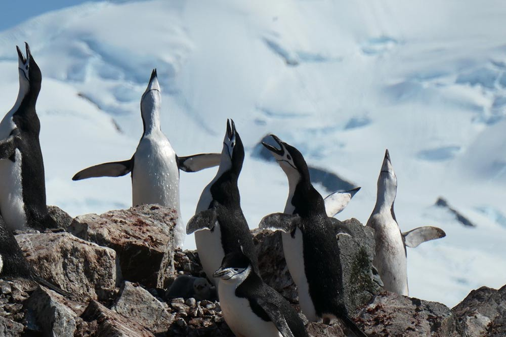 Chinstrap Penguins by Lisa Cayave