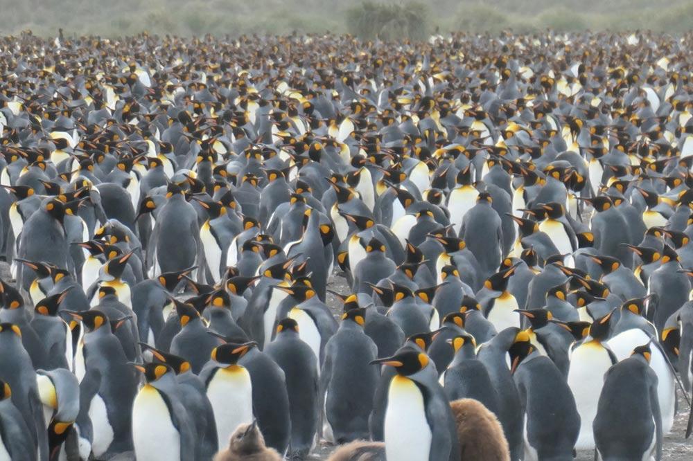 King Penguins at Salisbury Plain South Georgia by Lisa Cavaye