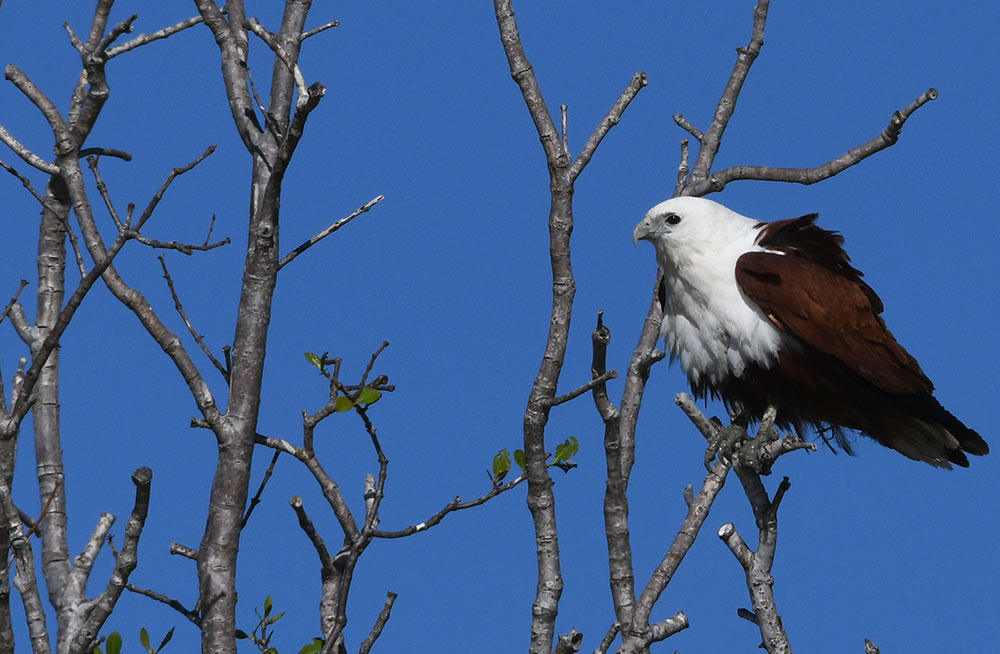 Brahminy Kite, Kimberley by Alex Burridge