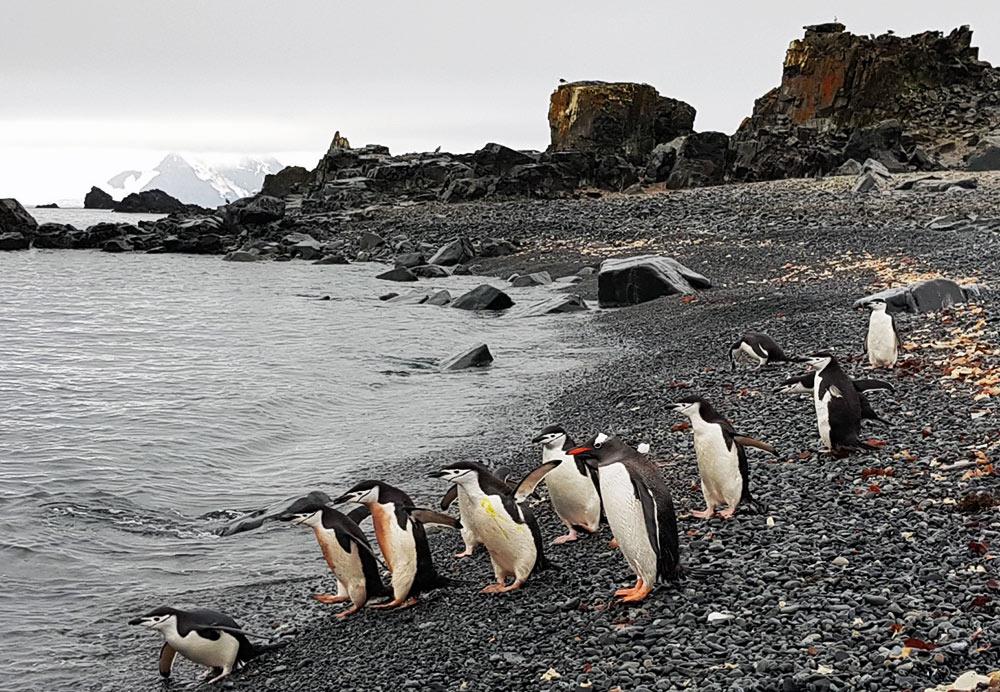 One Lost Gentoo, Antarctic Peninsula by Gina Kikos